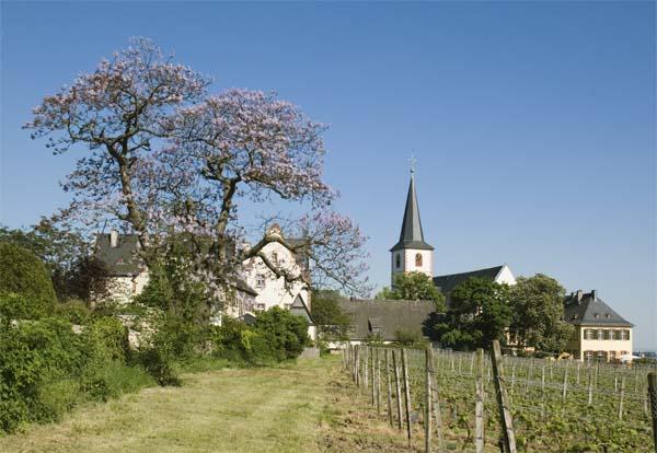 Blauglockenbaum in Hochheim